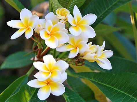 plumeria flowers  yellow white hips hawai tropical flowers  wallpaperscom
