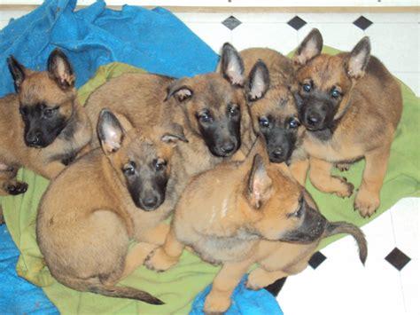 belgian malinois puppies for adoption belgian malinois puppies for sale adoption from laguna adpostcom breeds picture