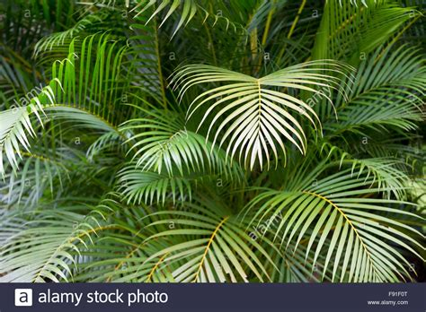 Tropical Jungle tropical jungle background of layers of green palm fronds