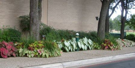 arranging caladiums  flower beds small  effective ideas