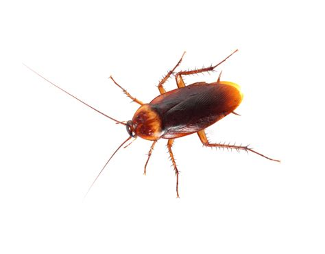 House Roaches by Tips To Protect Your Home From Cockroaches