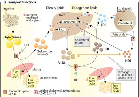 lipid metabolism diagram vldl synthesis pictures to pin on pinsdaddy