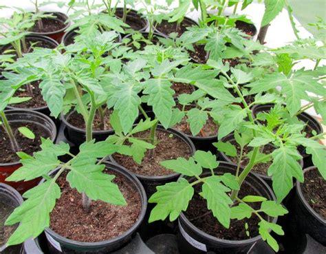 wann tomaten vorziehen tomaten pflanzen tomaten pflanzen auf dem eigenen balkon