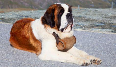 st bernard bernard caract 232 re origine prix 233 ducation et conseils race de chien fr