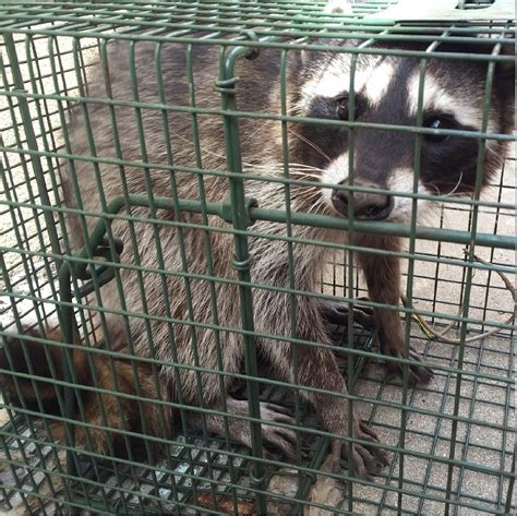 getting rid of raccoons in backyard getting rid of raccoons in backyard getting rid of raccoons in backyard 28 images raccoon