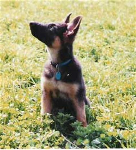 how to correct puppy biting correct puppy biting problems in your german shepherd puppy