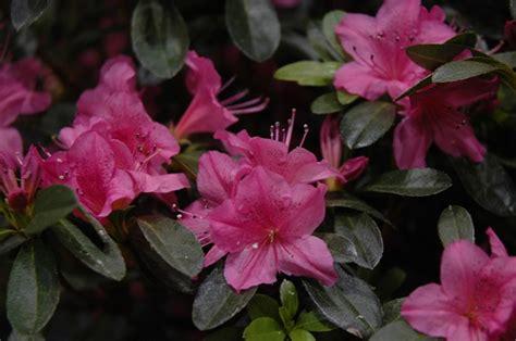 shrub karen azalea rhododendron quot karen quot height 4 feet