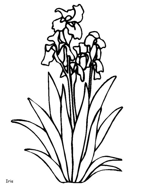 coloring pictures of iris flowers iris coloring pages and printable