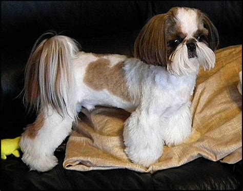 haircuts for shih tzus males mr foo s shih tzu of indiana kentucky missouri illinios