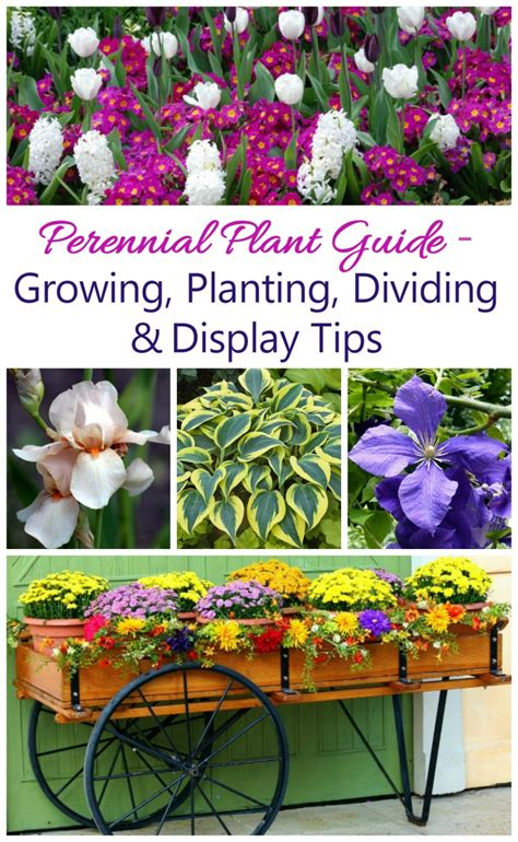 growing perennials a guide to plants that come back year