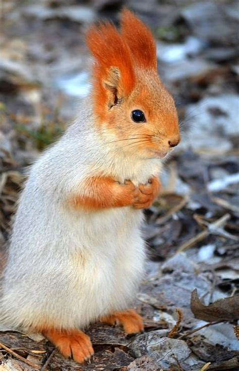 what do squirrels like to eat squirrel red squirrel
