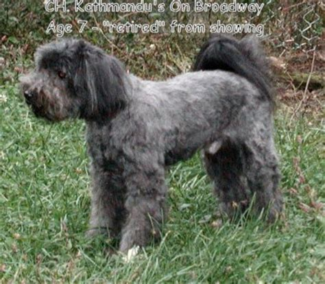 hair cuts for the tebelan terrier tibetan terrier short haircut search results hairstyle