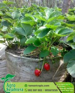 Jual Bibit Pohon Strawberry jual bibit stawberry