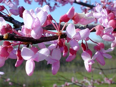 redbud tree pictures images photos of red bud shrub