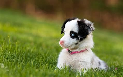 blue eyed puppies with blue dogs wallpaper