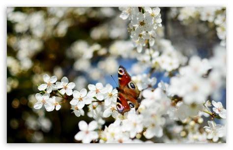 tulips flowers bokeh wallpaper 5120x3200 23648 blossom desktop background wallpaper free download