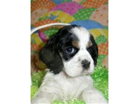 cocker spaniel puppies for sale mn cocker spaniel puppies in minnesota