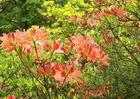 rhododendron winterfest machen garten gartenazaleen freilandazaleen standort pflege