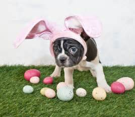 Easter is sunday and here are 25 dogs who are ready for the occasion
