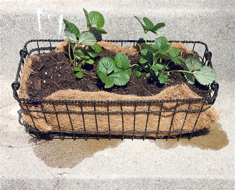 Wire Basket Planter by Smile And Wave Diy Wire Basket Into Strawberry Planter