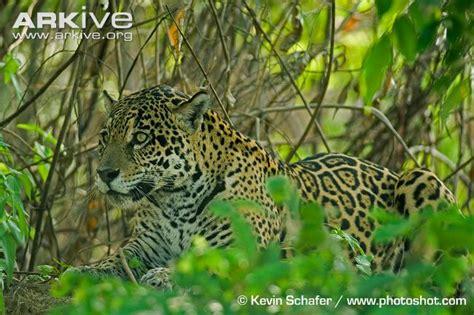 Jaguar Panthera Onca Facts Jaguar Photo Panthera Onca G20781 Arkive
