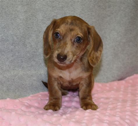 dachshund puppies raleigh nc standard dachshund breeders nc dogs in our photo