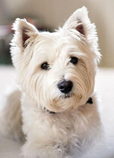 west highland terrier haircuts west highland terrier haircut www imgkid com the image