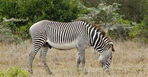 zebra pattern evolution grevy s common zebra hybrid usual and unusual zebras
