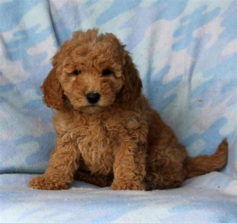 mini doodle puppies fluffy mini goldendoodle puppies craigspets
