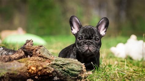 french bulldog puppy black grasshd dog wallpaper