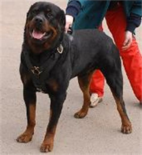 rottweiler pulling competition rottweiler harness rottweiler collar rottweiler muzzle rottweiler leash