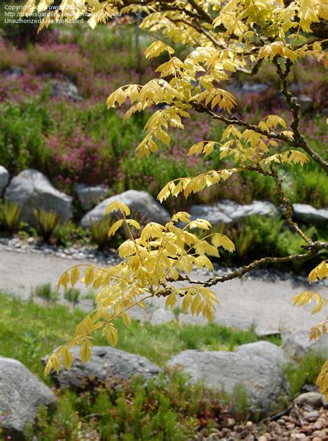 Ubc Botanical Garden Plantfiles Pictures Golden Tree Golden Raintree Panicled Goldenraintree Koelreuteria