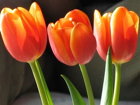Ransel Tulip 3 In 1 3 tulips a photo from zuid south trekearth