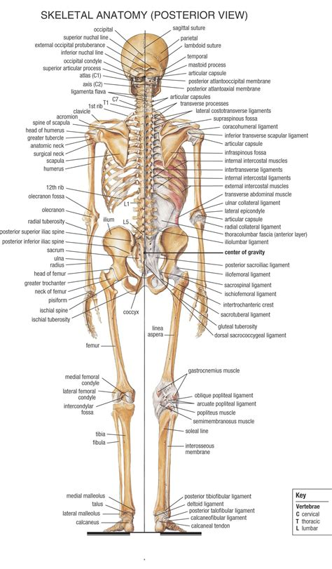 skeleton anatomy human anatomy of the human contains many different systems here you will find