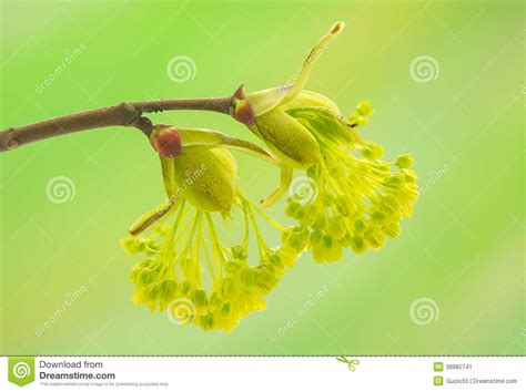 libro the natural world close up acer pseudoplatanus stock photo image 39985741