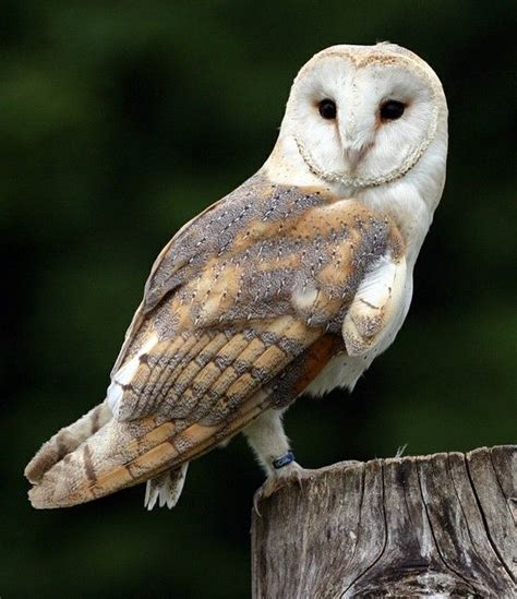 95 Best Owl Images On Animal - barn owl tyto alba flight at owl