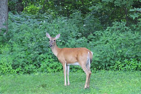 deer in backyard white tailed deer back yard biology page 2