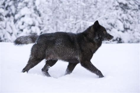 imagenes lobo negro lobo negro informaci 243 n qu 233 come d 243 nde vive c 243 mo nace