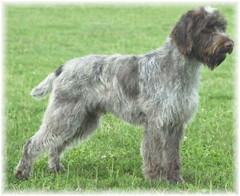 wirehaired griffon puppies wirehaired pointing griffon puppies breeders pointing griffons