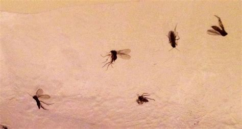 small flies in my bathroom small bathroom flies