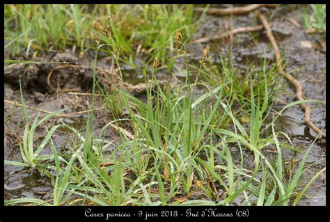 Panci Orchid 50cm carex panicea