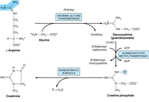 creatine function creatinine a marker of renal function biochemistry for