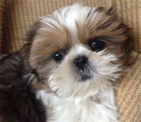 imperial shih tzu puppies price imperial shih tzu boy puppy special price bournemouth dorset pets4homes