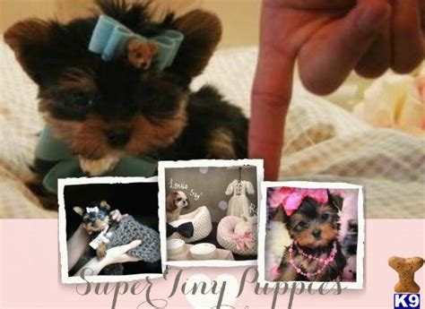yorkie puppies for sale ta fl terrier puppy for sale finance a beautiful yorkie today all sizes ta 10