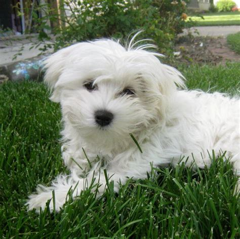 maltipoo puppies michigan michigan poodles michigan maltipoo adults for adoption