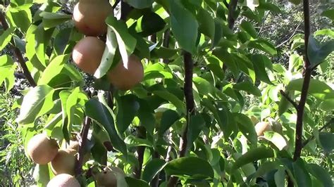 Planting Fruit Trees In Backyard by Hosui Growing Pear In Your Own Backyard Part 5
