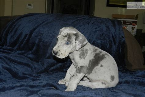 great dane puppies for sale illinois penelope great dane puppy for sale near southern illinois illinois 3083a9d5 d181