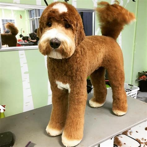 how to cut a goldendoodles hair poodles smart active and proud dog doodles and poodle