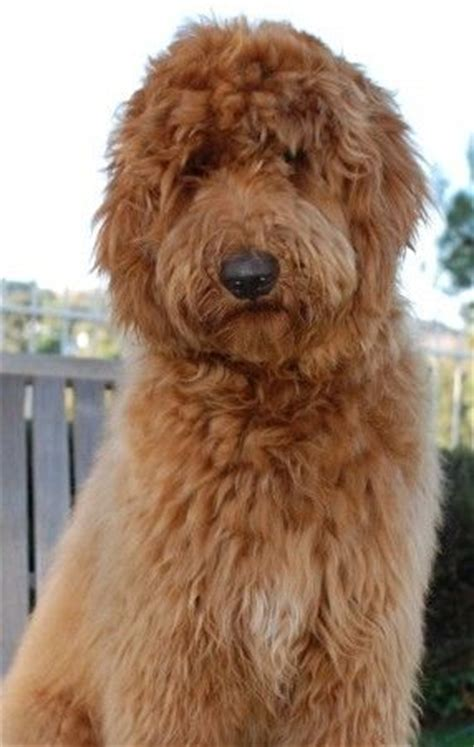 cheap goldendoodle puppies for sale f1 standard goldendoodle puppies for sale poodle crossed rachael edwards