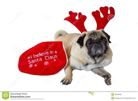 beige pug beige pug wearing attire 10 royalty free stock image image 35006326